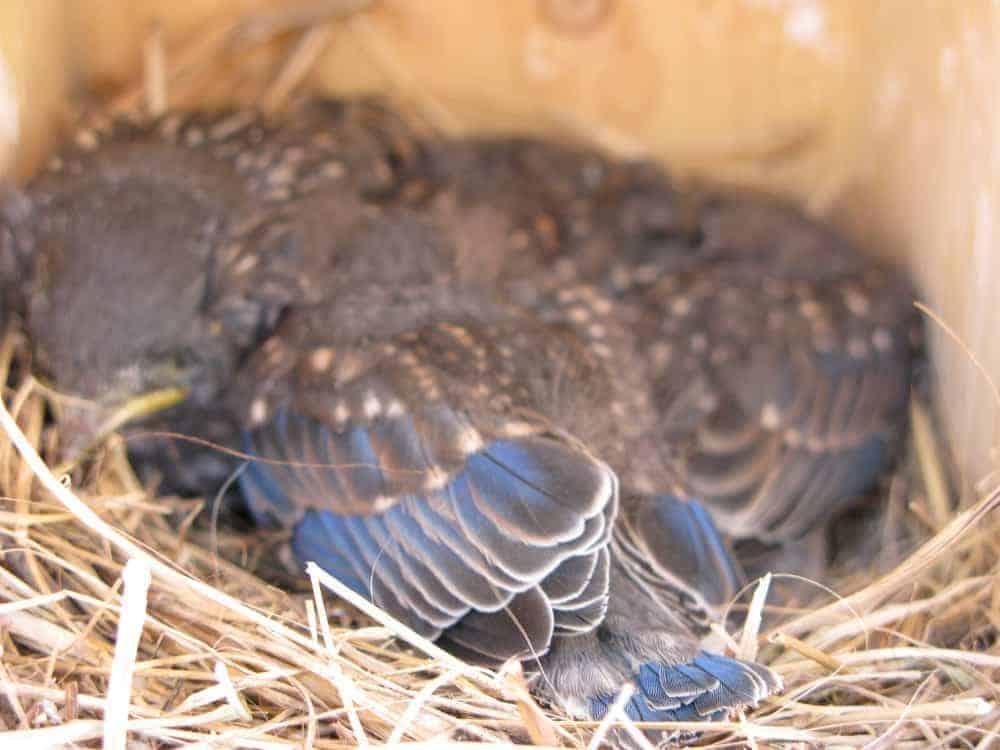 Eastern_bluebirds_in_a_nestbox