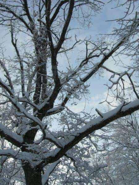 Snow-on-oak_-_DL_Daniels_2009
