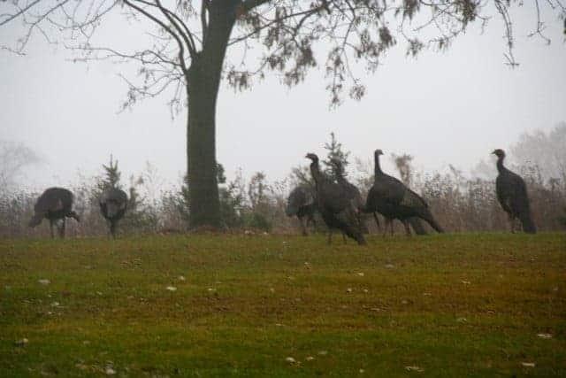 Turkeys_-_Debby_Manke