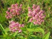 Summer 2010 - milkweed